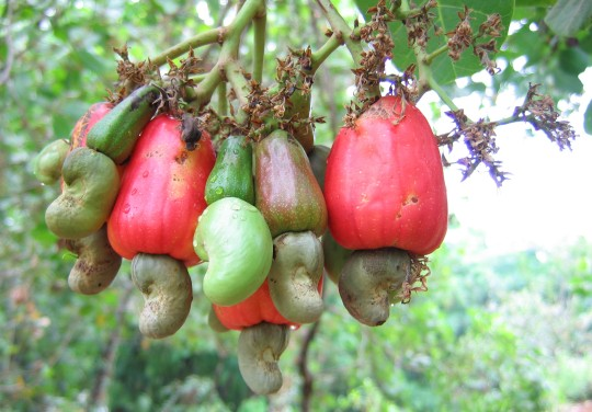 Cashews on the tree.